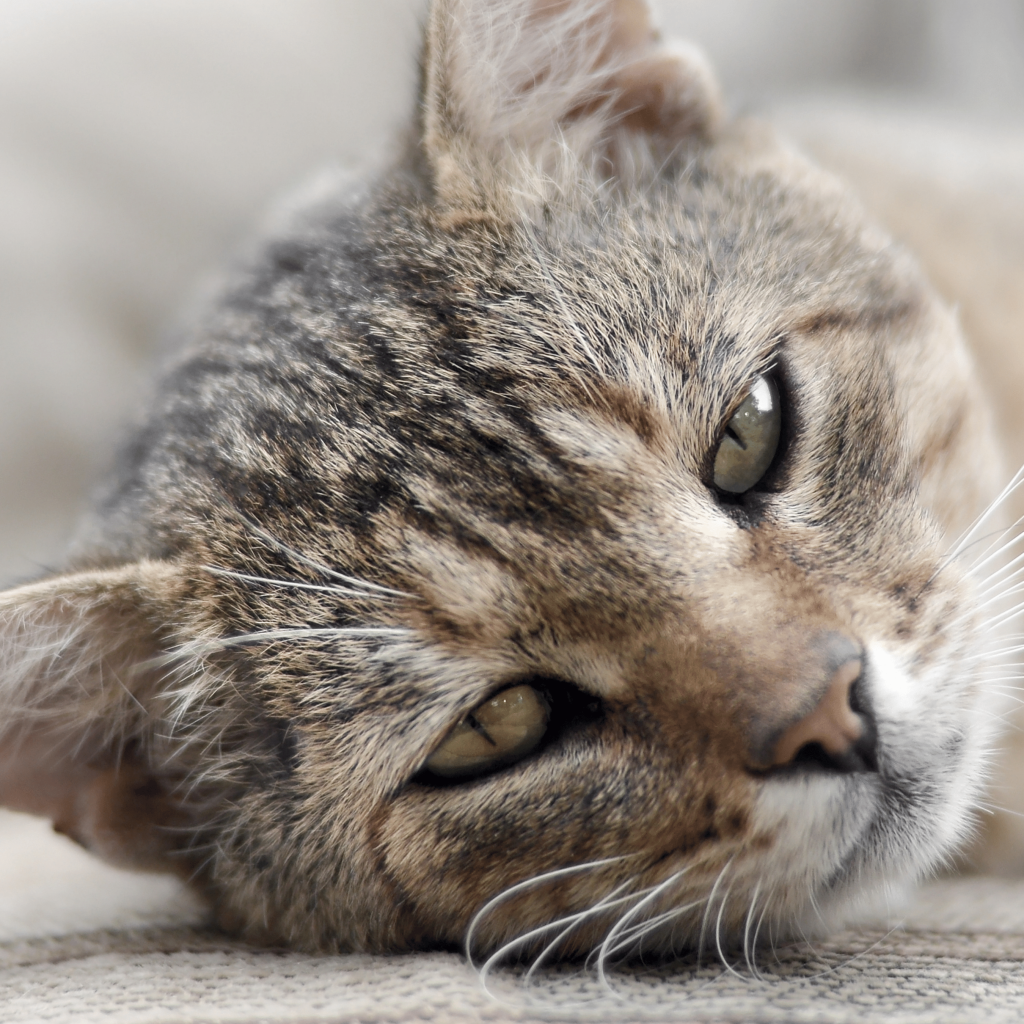 """Sick resting cat laying down. A pet that is struggling with chronic disease or illness would be a great candidate for a """"Holistic Virtual Pet Nutrition Consult"""""""